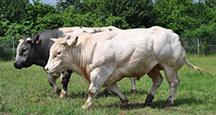 Rinderzucht